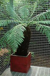 Tree fern - Dicksonia antarctica - in painted wooden container. Wire mesh flooring and screen.