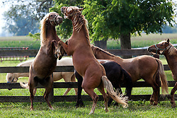 A couple of the colts display aggressive behavior being near a group of fillies in an adjacent paddock after being tested on Tuesday. <br /> <br /> The Grayson Jockey Club Foundation plays a key role in the health of the Thoroughbred industry by funding important research. <br /> <br /> UK research Ph.Ds, Dr. Martin Nielsen and Dr. David Horohov are conducting research on a group of ponies by analyzing their vitals after de-worming and vaccinating the equids. They want to see if giving both regimens have negative effects on each other., Tuesday, Aug. 06, 2013 at the C. Oran Little Research Center in Versailles.