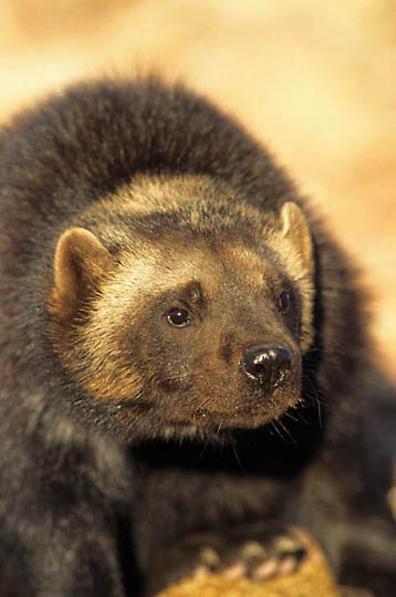 Wolverine (Gulo luscus) Portrait of a adult. Spring Montana.  Captive Animal. ..Wolverine, (Gulo gulo) Adult. Rocky mountains. Montana. *