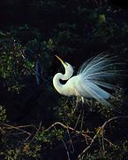 Great Egret iin breeding plummage, Ardea alba, Venice Rookery, FL