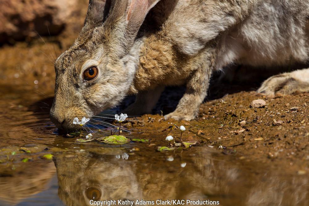 Antelope jackrabbit; Lepus alleni; drinking, reflection, Sonoran Desert; Arizona, Summer