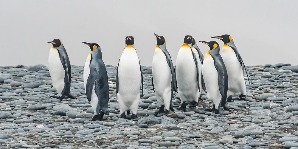 King Penguins, South Georgia Island