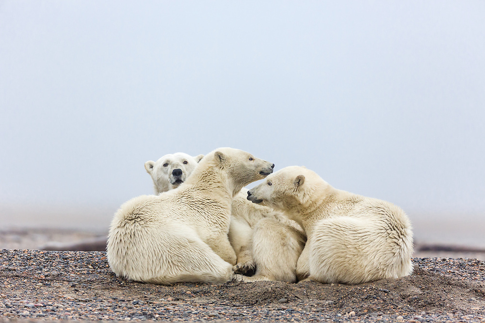 Mother polar bear (Ursus maritimus) and cubs resting on spit on Barter Island near Kaktovik in the Arctic National Wildlife Refuge in the Far North of Alaska. Autumn. Morning.