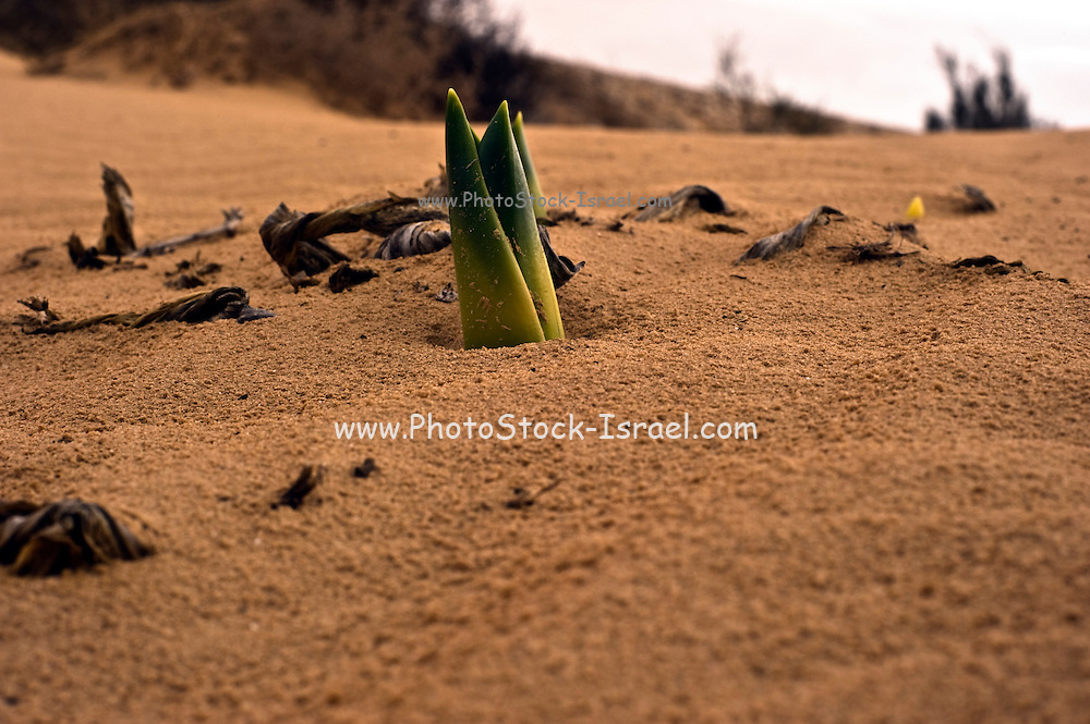plant sprouts out of the sandy ground in a harsh environment. Photographed in the Negev Desert, Israel