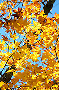 Bright golden fall foliage of a Sugar Maple (Acer saccharum), Bar Harbor, Maine.