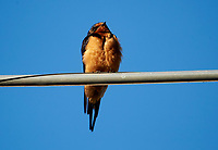 Barn Swallow (Hirundo rustica) perched on a wire, San Juan Cosala, Jalisco, Mexico