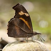 Libythea myrrha, the Club beak butterfly in Kaeng Krachan National Park, Thailand.