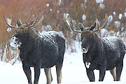 Bull Moose in Winter Habitat