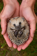European hedgehog, Erinaceus europaeus, in Järfälla, Sweden. These young hedgehogs were orphaned when their mother got killed and they were temporarily reared by humans. Here in the hand of Fredrik