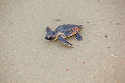 Loggerhead Sea Turtle Hatchling on Beach Crawling Toward Ocean