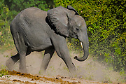 African Elephant - Loxodonta africana raising a cloud of dust as it slowly ponders on