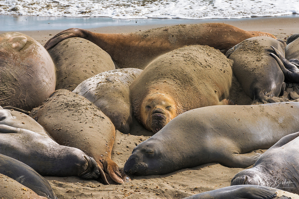 Northern elephant seals (Mirounga angustirostris) at Piedras Blancas Elephant Seal Rookery, San Simeon, California