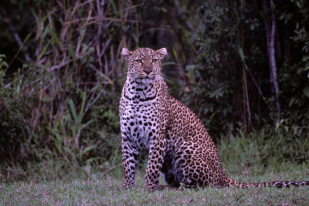 Kenya, Masai Mara Game Reserve, Leopard (Panthera pardus) sitting along banks of Telek River at dusk
