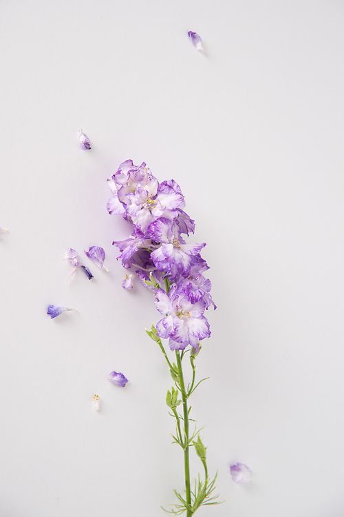 Still Life flowers photo print, pruple petals, blossom, Santa Monica wall art photography limited edition matted print, fine art.