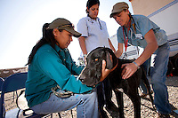 MCDERMITT, NV - AUG 16:  Henrietta Snapp (L) with her 14 month old Great Dane, Berley gets checked by intern Jena Valedz (C) and team leader and vet Kate Kuzmisnski (R) during a clinic sponsored by the Humane Society of the United States August 16, 2009 in McDermitt Nevada.  (Photograph by David Paul Morris)