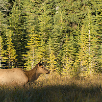 cow elk standing in meadow