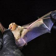 STERLING, VA - JUN13: Bethany Gregory, a field technician with GAI Consultants, holds a red bat, after it was caught in a mist net, July 13, 2015, during a bat census to make sure the planned Silver Line train yard near Dulles Airport doesn't impact the bats living in the woods near the site. Fine 'mist nets' are hung from polls to capture bats and determine whether there is a threatened bat species in the area. The bats are then released. Photo by Evelyn Hockstein/For The Washington Post)