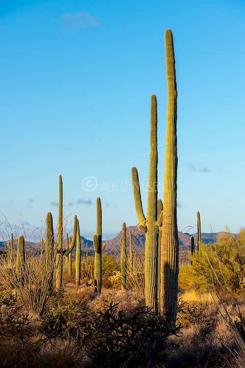 Giant Saguaros in the morning light of Organ Pipe Cactus National Monument, southern Arizona.
