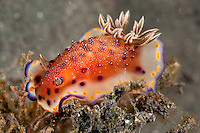 Chromodoris Nudibranch.Shot in West Papua Province, Indonesia