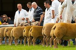 © Licensed to London News Pictures. 22/09/2019. Llanelwedd, Powys, Wales, UK. Inspection and show events take place on the eve of the NSA (National Sheep Association) Wales & Border Ram Sale at the Royal Welsh Showground in Powys, Wales, UK. Two NSA Wales & Border Ram Sales are held each year: An early one in August and the main one in September. Around 4,500 rams from about 30 breeds will be on sale. Photo credit: Graham M. Lawrence/LNP