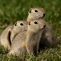 Animals - Gophers