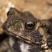 Asian Common Toad - Duttaphrynus melanostictus