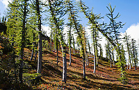 Larch trees on a colorful mountainside.  North Cascades, Washington, USA.