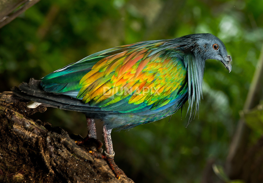 A Nicobar Pigeon (Caloenas nicobarica) shows off iridescent plumage at the Bali Bird Park