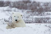 A polar bear (Ursus maritimus) climbs into her freshly dug nest.