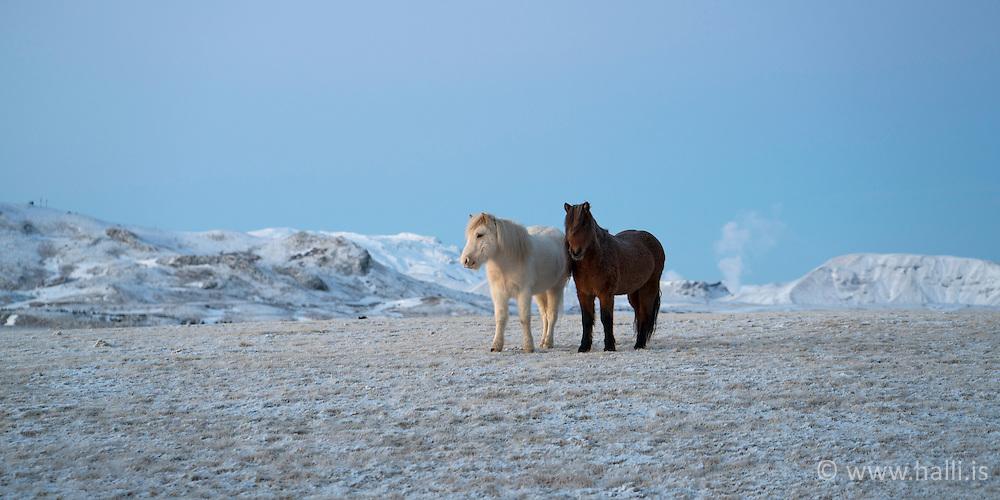 Horses in -13°C at Grimsnes, Iceland - Hestar í vetrarríki Íslands í Grímsnesi