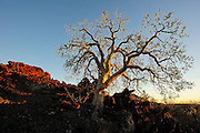 Tree growing out of lava rock with evening side light.