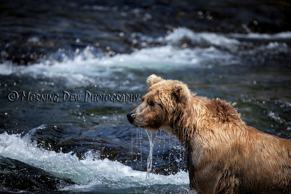 "A brown bear, named Holly, raises her head out of the water after ""snorkling"" for salmon in the riffles at Brooks River."