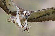 Osprey (Pandion haliaetus) in flight, Cairngorms NationalPark, Scotland.