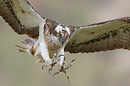 Osprey (Pandion haliaetus) in flight, Cairngorms NationalPark, Scotland.