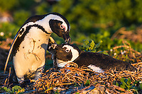 African Penguin preening partner on the nest, Bird Island, Algoa Bay, Eastern Cape, South Africa