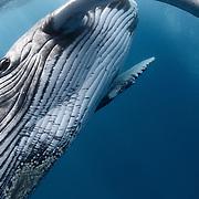 Inquisitive male humpback whale calf. Megaptera novaeangliae
