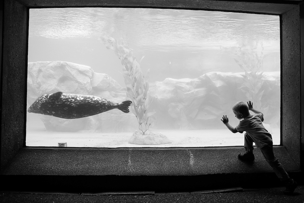 A child watches sea lions at the Lincoln Park Zoo in Chicago's Lincoln Park neighborhood.