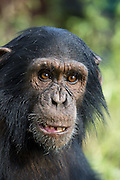 Chimpanzee<br /> Pan troglodytes<br /> Ngamba Island Chimpanzee Sanctuary<br /> *Captive