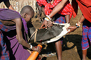 Africa, Tanzania, Lake Eyasi, Maasai men bleeding a cow to produce the Blood Milk they drink. an ethnic group of semi-nomadic people