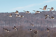 Otisville, New York - Canada geese fly over a farm on April 1, 2015.