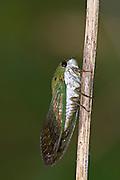 Superb Green Cicada.Tibicen superbus.Webberville Park,.Webberville,.Travis Co.,.Texas.16 July 2008