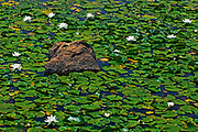 water lilies (Nymphaea odorata) and rock<br />Byng Inlet<br />Ontario<br />Canada