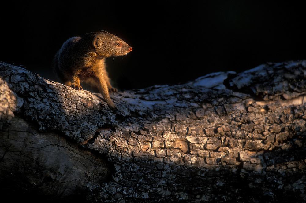 Botswana, Chobe National Park, Banded Mongoose (Mungos mungo) on downed tree along banks of Chobe River at sunset