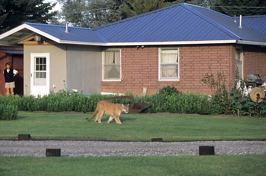 Urban Wildlife/Mountain Lion (Felis concolor) with in city limits of Bozeman, Montana. Captive Animal.