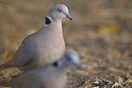 african mourning dove, Streptopelia decipiens