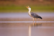 Grey heron (Ardea cinerea) standing in a water pond. This large bird hunts in lakes, rivers and marshes, catching fish or small animals with a darting strike of its head. It is found throughout Africa and Eurasia. Photographed Ein Afek nature reserve, Israel in August