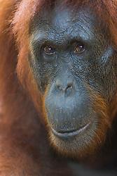 A close-up portrait of the face of a female orangutan (Pongo pygmaeus), Borneo, Indonesia