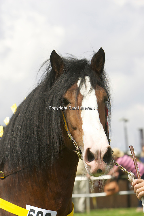 Mr Paul Bedford's bay stallion  Metheringham Upton Hamlet<br />