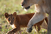 A Lioness with two cubs follow follow a Buffalo herd in the South Luangwa National Park.South Luangwa National Park, Zambia, Southern Africa..© Zute & Demelza Lightfoot.www.lightfootphoto.com..