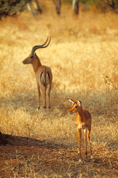 Impalas blend with the golden grasses of  Lake Manyara National Park, Tanzania.
